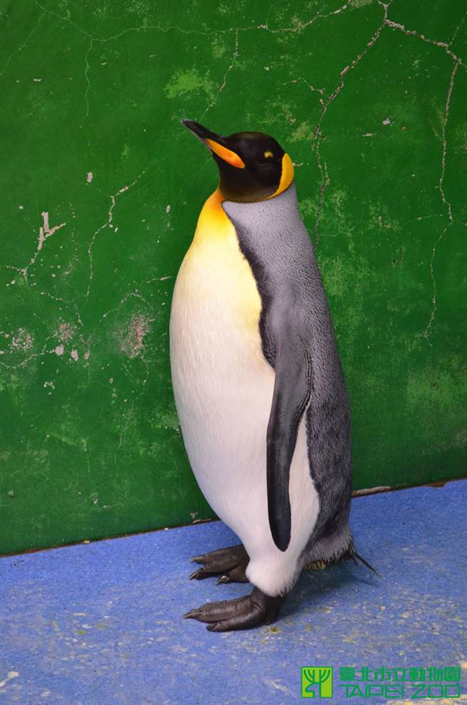 國王企鵝「黑麻糬」儘管屢次孵蛋失敗,但在繁殖季時,偶爾仍會鼓著脖子有發情的表現(圖/台北市立動物園 提供)