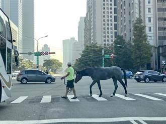 哇!真是「馬」路 中市7期出現黑馬逛大街
