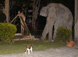 小貓擋家門口「獅吼功」對峙 4噸重大象想闖入嚇到落跑