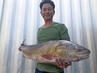 金門近1米大魚落網 水試所:可能大陸來的!