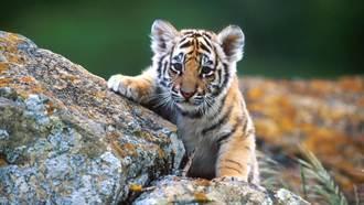老虎寶寶拒絕洗屁屁 「菸嗓奶音」一聽融化了