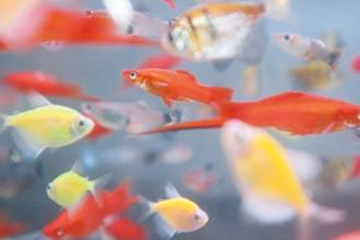 台南觀賞魚養殖場 百店剩20家