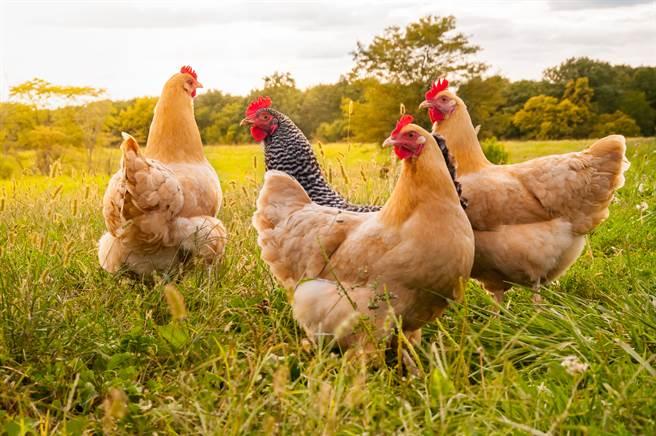 男子吃過養雞場的雞覺得味道不錯,不想花錢便訓練黃金獵犬去偷(示意圖/達志影像)