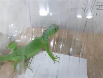 養綠鬣蜥登記月底截止 飼主未申辦最高恐遭罰5萬