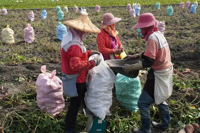 大城鄉因土壤、氣候相當適合台農66號,加上照顧容易,1年能有3次收成,造成農民爭相搶種,國內台農66號有將近9成都來自大城。(吳建輝攝)