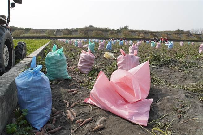縣府呼籲農民加入甘薯合作社,以契作方式生產來保證收購價格,加上合作社會輔導協助甘薯的種植,還能保障品質,相對來講會比較適合。(吳建輝攝)
