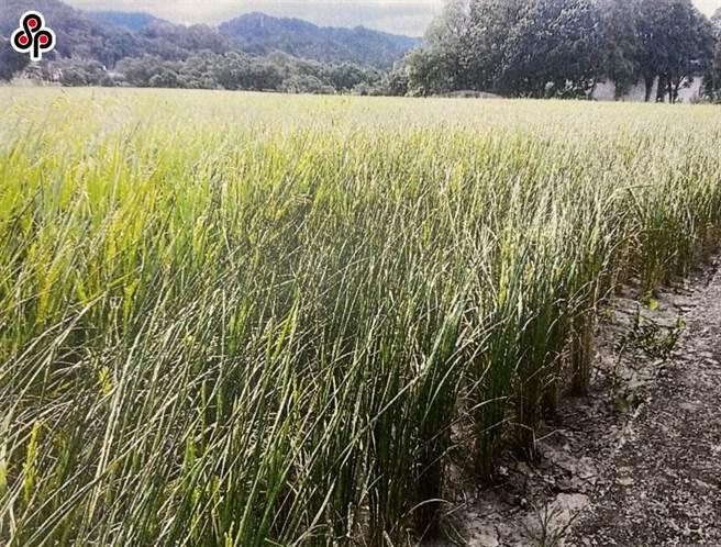 經濟部與農委會日前已宣布今年二期作桃竹苗地區1.9萬公頃停灌。(報系資料照)