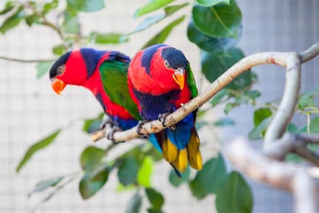 黑頂吸蜜鸚鵡擁有漂亮繽紛的羽毛,在非法寵物市場中被視為珍寶。(示意圖/達志影像)