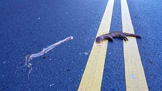 鱗蛇遭路殺橫死街頭 黃鼠狼想「撿屍」下場卻超悽慘