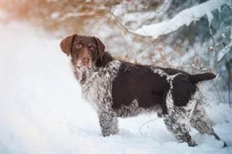 靈鼻汪雪地裡突激動搖尾 主人一看樹叢探出「黃金小臉」秒鼻酸