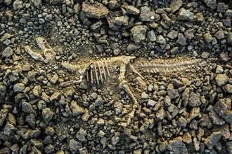 全球首具完整暴龍化石 「利牙插身體」揭6700萬年前決戰結局