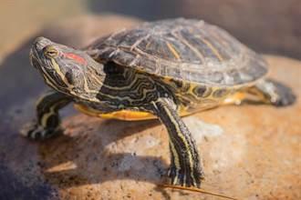老伯河邊釣到「背插四支箭烏龜」 身價竟高達75億