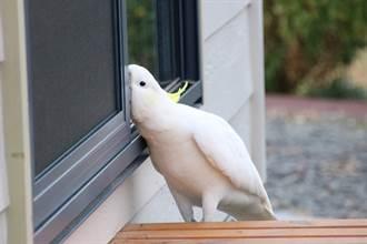 鸚鵡「破窗闖民宅」被抓包 厚臉皮尬聊還攜伴討飯