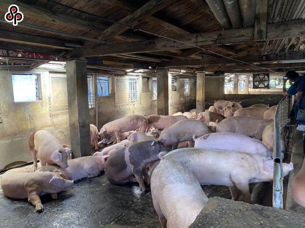 陳時中今早也在立法院衛環委員會進行回應,強調「美豬不等於萊豬,萊豬不等於毒豬」,政府會做好把關,將標示做清楚,讓民眾能夠選擇。(本報資料照)