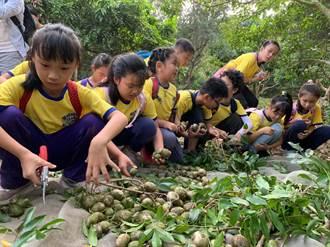 橄欖不榨油只做腸胃藥 小學生勇闖橄欖山探究