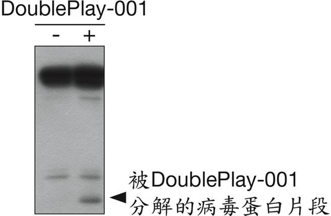 DoublePlay-001藥效的西方墨點法分析-完整的新冠病毒蛋白位於上方,施加DoublePlay-001使得病毒蛋白出現被分解後位於下方的小片段。圖/業者提供