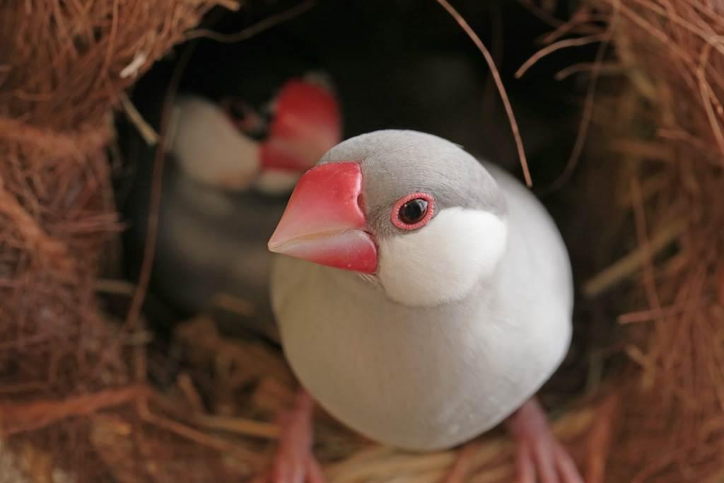 文鳥跳到電視機上取暖,由於腹部毛相當蓬鬆,因此產生「融化」的視覺錯覺。(示意圖/達志影像)