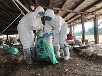 嘉縣傳鵝場染禽流感 918隻肉鵝全撲殺