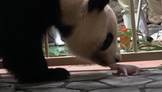 大貓熊界超強播種 阿公級「永明」再添仔 擁17子22金孫