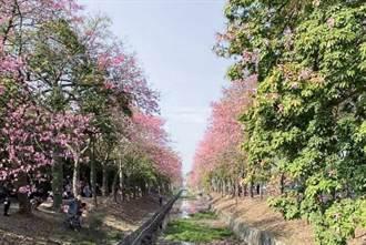 虎尾版櫻花大道湧2萬人 美人樹賞花節獲好評活動延長