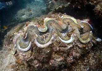 富山護漁區復育有成 硨磲貝存活率9成