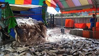 剖烏季來臨 上千尾烏魚從貨車卸下 如瀑布壯觀