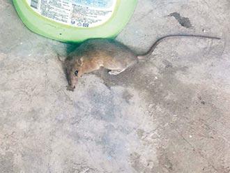 基隆市中心商圈林立 老鼠街頭亂竄