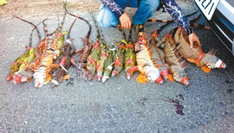 1年抓1200隻 八掌溪畔綠鬣蜥氾濫