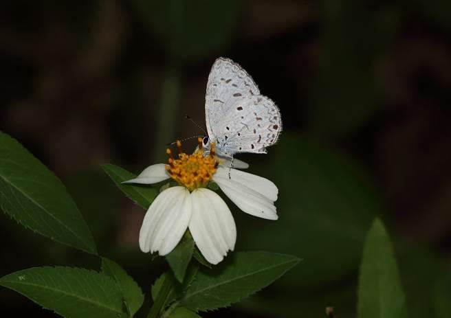 雖然已經接近12月了,山上花園水道博物館園區仍生機盎然,出現各式不同種類的蝴蝶翩翩飛舞。(台南市文化局提供/劉秀芬台南傳真)