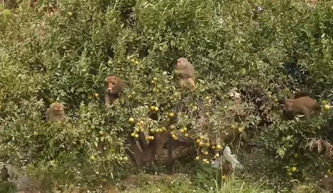 中部地區久旱不雨,火炎山猴群下山覓食,山下的柑橘果園成重災區。(蔡玉清提供/巫靜婷苗栗傳真)