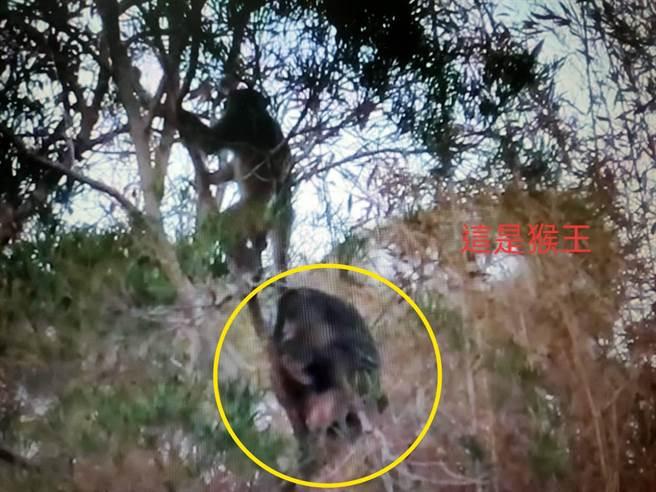 火炎山猴群跟著猴王下山覓食。(蔡玉清提供/巫靜婷苗栗傳真)