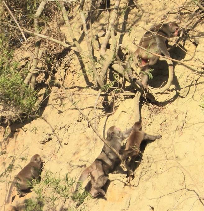 火炎山猴群沿陡峭山壁上下山覓食,母猴協助小猴子攀爬。(蔡玉清提供/巫靜婷苗栗傳真)