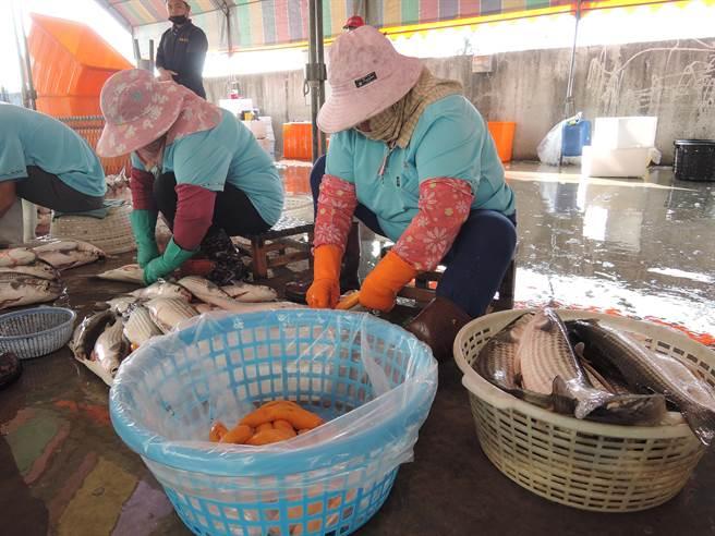 工作人員從劃開魚肚,再取出烏魚腱、烏魚卵,平均每尾不到30秒。(張毓翎攝)