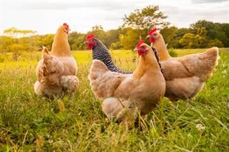 日本福岡縣養雞場首驗出禽流感 將撲殺9萬隻雞