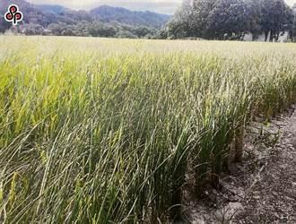 嘉南1萬9385公頃停灌拍板 農委會祭兩樣態補償