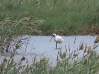 成龙溼地保育利用计画草案出炉 地方盼打造黑面琵鹭保护区