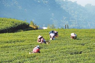 大阿里山冬茶產量 大減4成