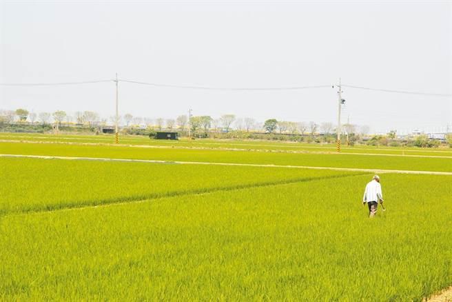 國內面臨56年來最嚴峻乾旱,繼桃竹苗1.9萬公頃農地實施停灌後,嘉南一期稻作區停灌今(25)日也將拍板。(本報資料照片)