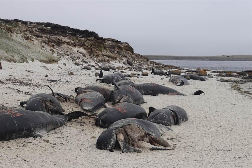 查拉姆群島驚見120隻左右的鯨豚擱淺,當地居民曝光現場畫面,讓許多人心碎。(示意圖/達志影像)