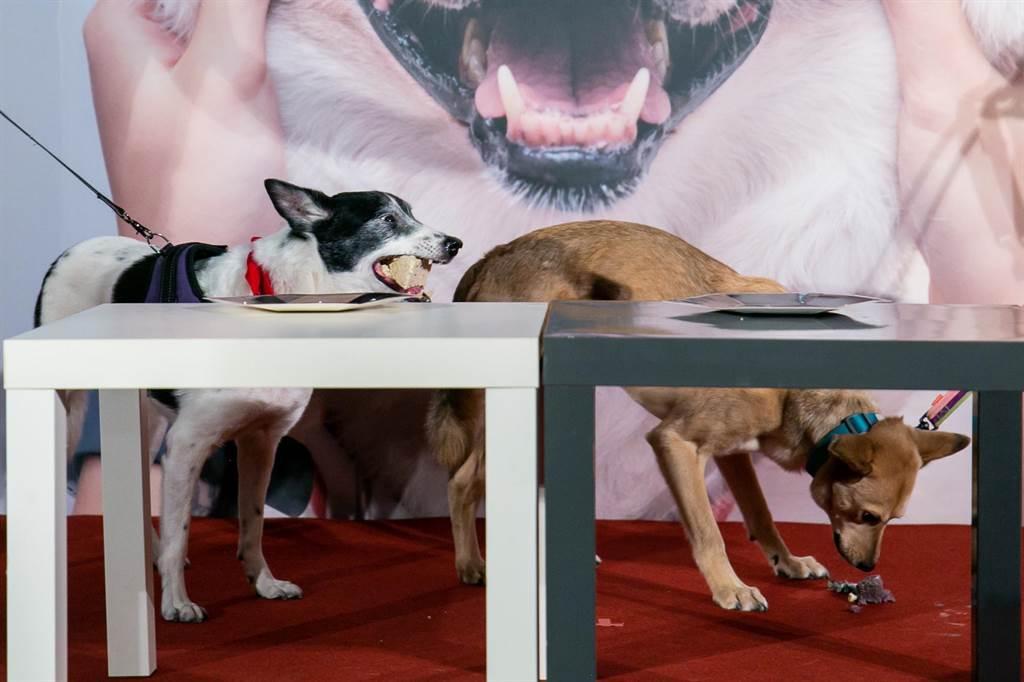 狗狗Aiai(左起)、Willow吃蛋糕慶祝首映。(牽猴子提供)