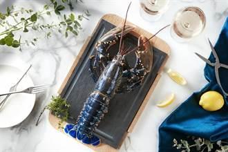 龍蝦界「藍寶堅尼」!台北喜來登安東廳布列塔尼藍龍蝦上桌