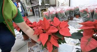 沒錢換尿布!花農提百盆聖誕紅捐基隆植物人