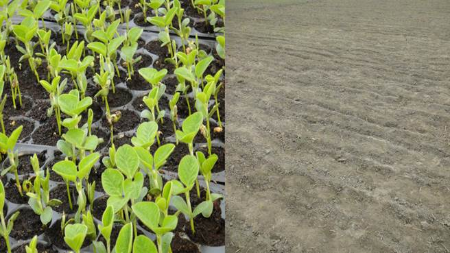 同一批種子,在相同的種植環境,經過兩周後的生長模樣大不相同。(邱凱瑩提供/吳建輝彰化傳真)