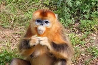 金丝猴把人当同伴?闯民宅蹭吃1个月 当猴王赖着不走