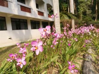 新化林場「粉苞舌蘭」爆花中 新品種終於上市開賣