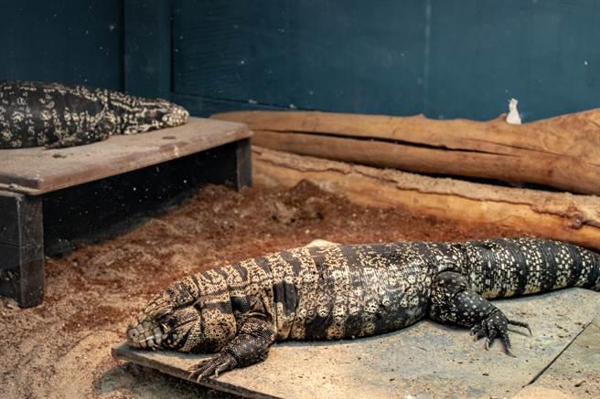 與狗體型相當的南美蜥,在美國東南部如入無人之境,造成生態平衡的威脅。(圖/Shutterstock)