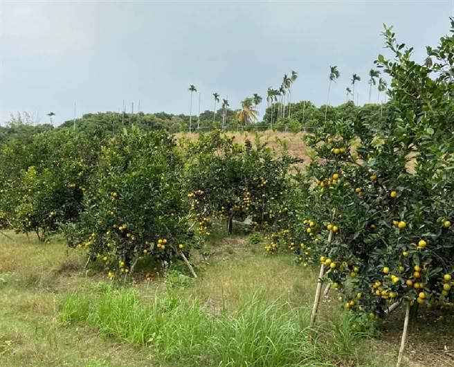 農業局提醒果農,已屆採收柳橙果實必要時應儘速採收並妥善貯藏。(台南市農業局提供/劉秀芬台南傳真)