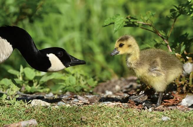 再平凡的鳥,都有不平凡的一面。(圖/張伯權攝)