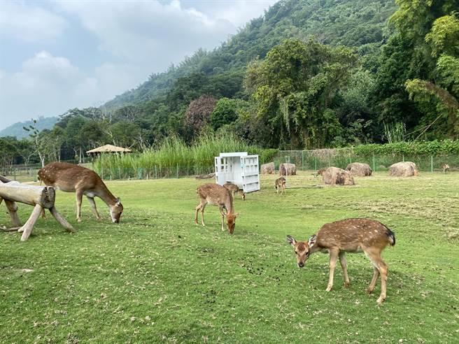 逐鹿梅花鹿園內的梅花鹿得到妥善照顧,今年又多了幾隻小鹿。(張亦惠攝)