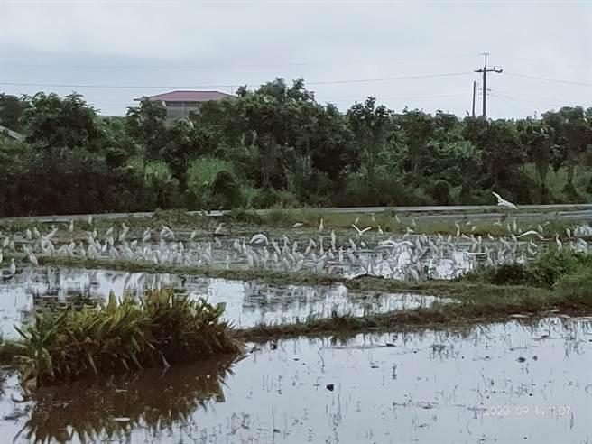 農地復耕,也看見白鷺鷥帶來的秋意。(新北市水利局提供)